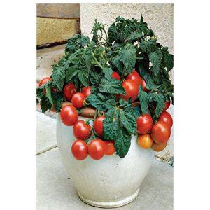 طماطم باشيو