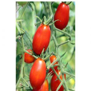 طماطم روما