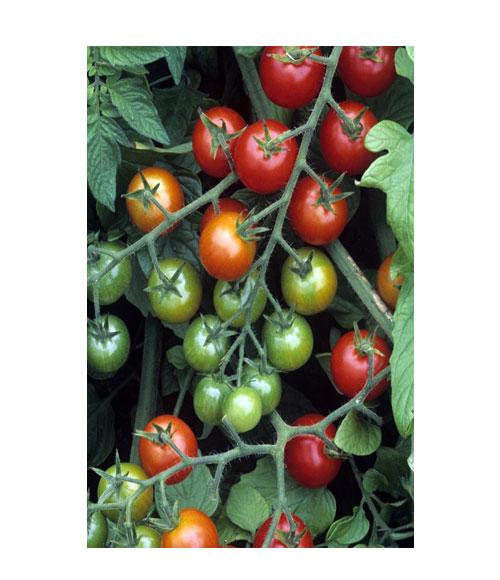 طماطم سويتي