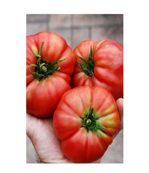 طماطم مورقيج ليفتر