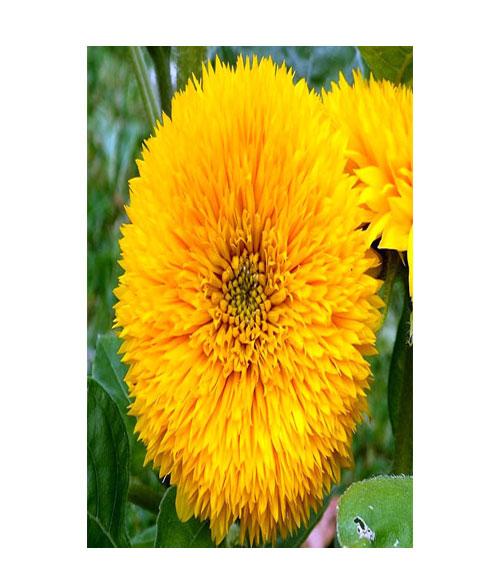 دوار الشمس ذهبي طويل القامة - My Organic World