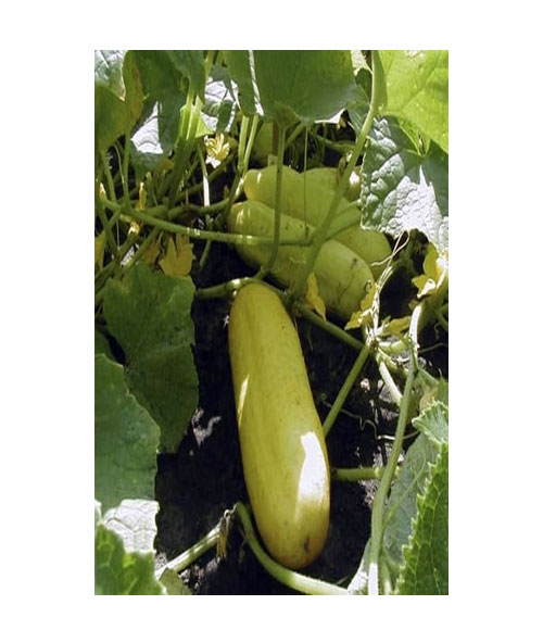 Yellow cucumber - My Organic World